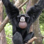 あー!フクロテナガザルの鳴き声!東山動物園【マツコ月曜から夜ふかし】