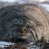 マヌルネコが見れる動物園5選!生態や特徴は?世界最古の猫?【ダーウィンが来た】